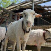 夏仕様の羊さん🐏